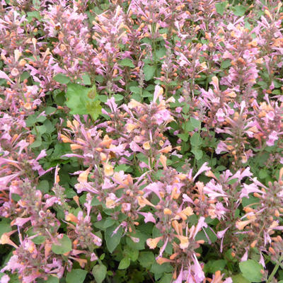 Agastache 'KUDOS Ambrosia' - Anijsplant, Dropplant - Agastache 'KUDOS Ambrosia'