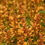 Agastache 'KUDOS Gold' - Agastache 'KUDOS Gold' - Anijsplant, Dropplant