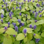 Agastache rugosa 'Golden Jubilee' - Anijsplant/Dropplant - Agastache rugosa 'Golden Jubilee'