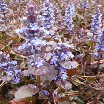 Ajuga reptans 'Evening Glow'