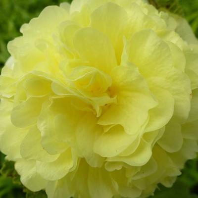 Alcea rosea 'Chater's Double Yellow' - Stokroos