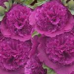 Alcea rosea 'Chater's Double Purple' - Stokroos