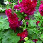 Alcea rosea 'Chater's Double Red' - Stokroos