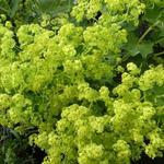 Alchemilla vulgaris - Spitslobbige vrouwenmantel - Alchemilla vulgaris