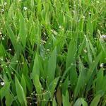 Alisma lanceolatum - Alisma lanceolatum - Slanke waterweegbree