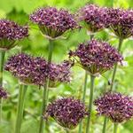 Allium atropurpureum - Sierui - Allium atropurpureum