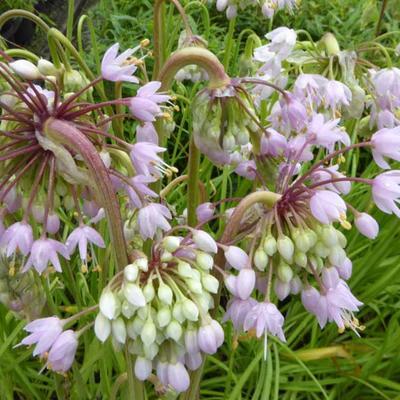 Allium cernuum 'Hidcote' -