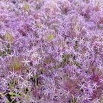 Sierui, Sterrelook - Allium christophii