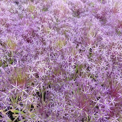 Allium christophii -