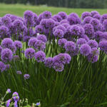 Sierui - Allium 'Millennium'