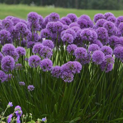 Allium 'Millennium' -