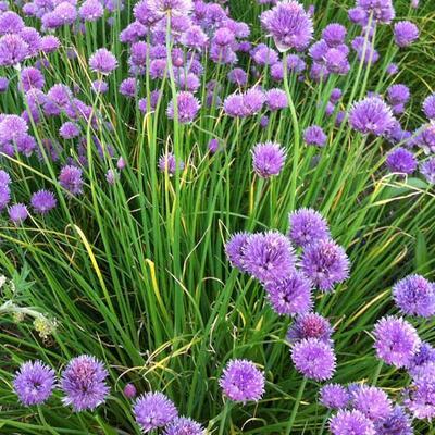Allium schoenoprasum - Bieslook - Allium schoenoprasum