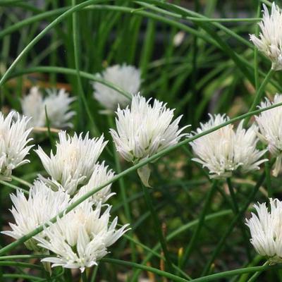 Allium schoenoprasum 'Corsican White' -