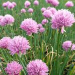 Allium schoenoprasum 'Rising Star' - Bieslook - Allium schoenoprasum 'Rising Star'