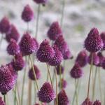 Allium sphaerocephalon - Trommelstokje - Allium sphaerocephalon