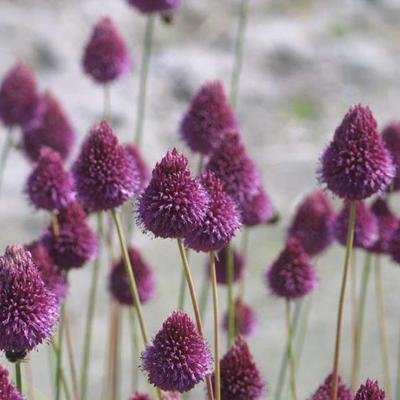Allium sphaerocephalon -