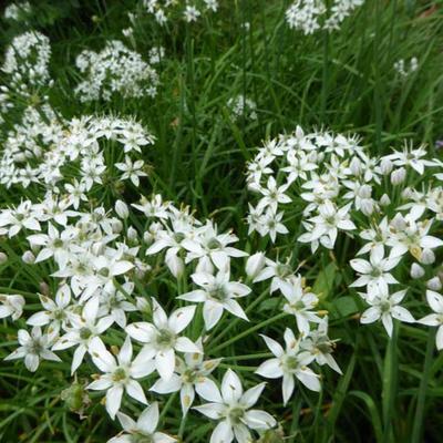 Allium tuberosum -