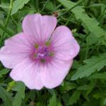 Althaea cannabina - Stokroos (Hennepbladstokroos) - Althaea cannabina