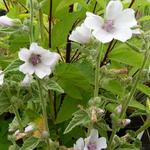 Althaea officinalis - Heemst - Althaea officinalis