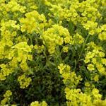 Alyssum montanum 'Berggold' - Schildzaad - Alyssum montanum 'Berggold'