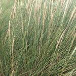 Ammophila arenaria - Wild helmgras - Ammophila arenaria