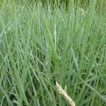 Ammophila breviligulata - Ammophila breviligulata - Helmgras