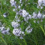 Amsonia hubrichtii - Stermaagdenpalm - Amsonia hubrichtii