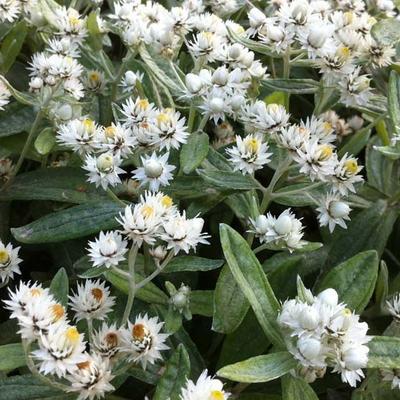 Anaphalis triplinervis - Siberische edelweis - Anaphalis triplinervis