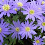 Blauwe anemoon / oosterse anemoon - Anemone blanda 'Blue Shades'