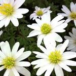 Anemoon - Anemone blanda 'White Splendour'