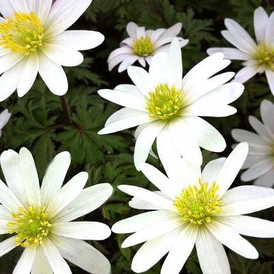 Anemone blanda 'White Splendour' -