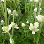 Anemone cylindrica - Anemone cylindrica - Kaarsanemoon