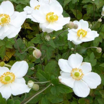 Anemone hybrida 'Coupe d'Argent' - Japanse anemoon