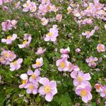 Anemone hupehensis 'Little Princess'  - Herfstanemoon - Anemone hupehensis 'Little Princess'