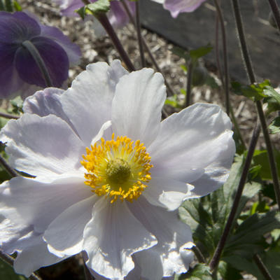 Anemone 'Dreaming Swan' - Anemoon
