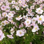 Anemone x hybrida 'Königin Charlotte' - Japanse anemoon - Anemone x hybrida 'Königin Charlotte'