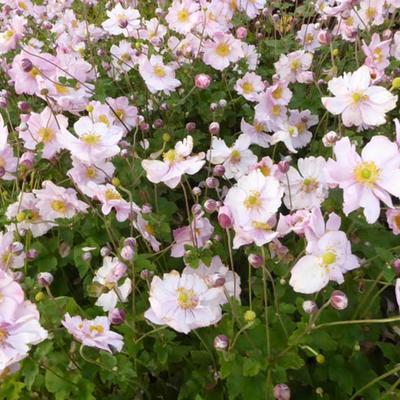 Anemone x hybrida 'Königin Charlotte' -