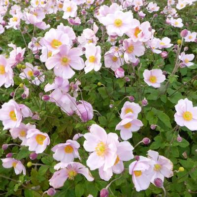 Anemone x hybrida 'Loreley' -