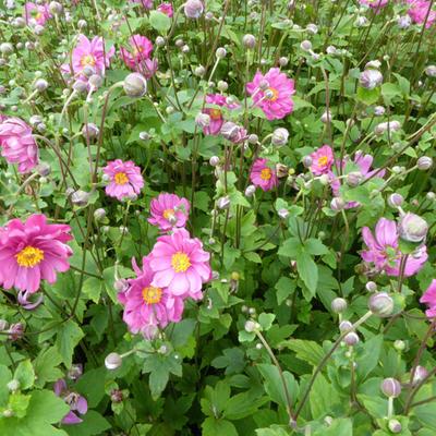 Anemone x hybrida 'Margarete' -
