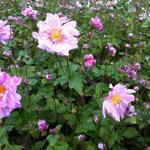 Anemone  hybrida 'Mont Rose' - Japanse anemoon - Anemone  hybrida 'Mont Rose'