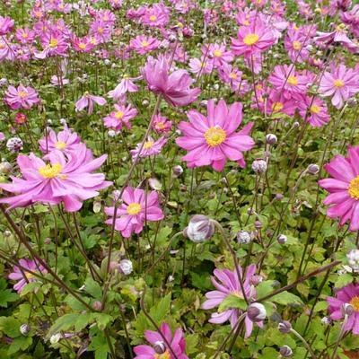Anemone x hybrida 'Pamina' -