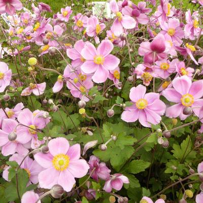 Anemone x hybrida 'Rosenschale' -