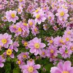 Anemone x hybrida 'Serenade' - Herfstanemoon - Anemone x hybrida 'Serenade'