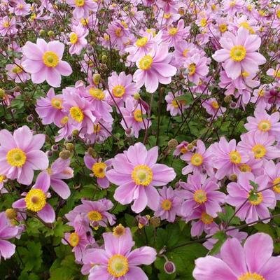 Anemone x hybrida 'Serenade' -