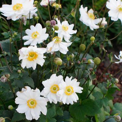 Anemone x hybrida 'Snow Angels' -