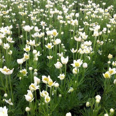 Anemone multifida 'Major' -
