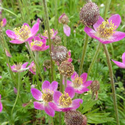 Anemone multifida 'Rosea' -