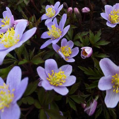 Anemone nemorosa 'Robinsoniana'  - Bosanemoon - Anemone nemorosa 'Robinsoniana'