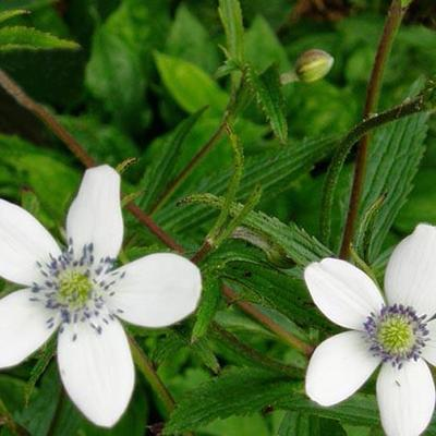 Anemone rivularis - Oeveranemoon - Anemone rivularis
