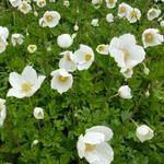 Anemoon - Anemone sylvestris